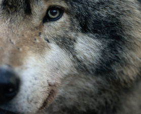 gray-wolf-278x225
