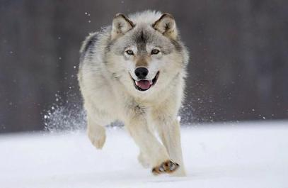 Gray_Wolf_Minnesota