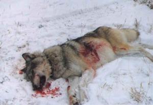 wolf_dead_insnow1