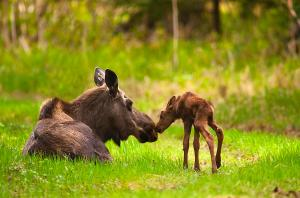 cow-and-calf-moose-in-grass-kincaid-michael-jones