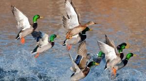 ducks_flying_over_water-1920x1080