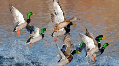 ducks_flying_over_water-1920x1080