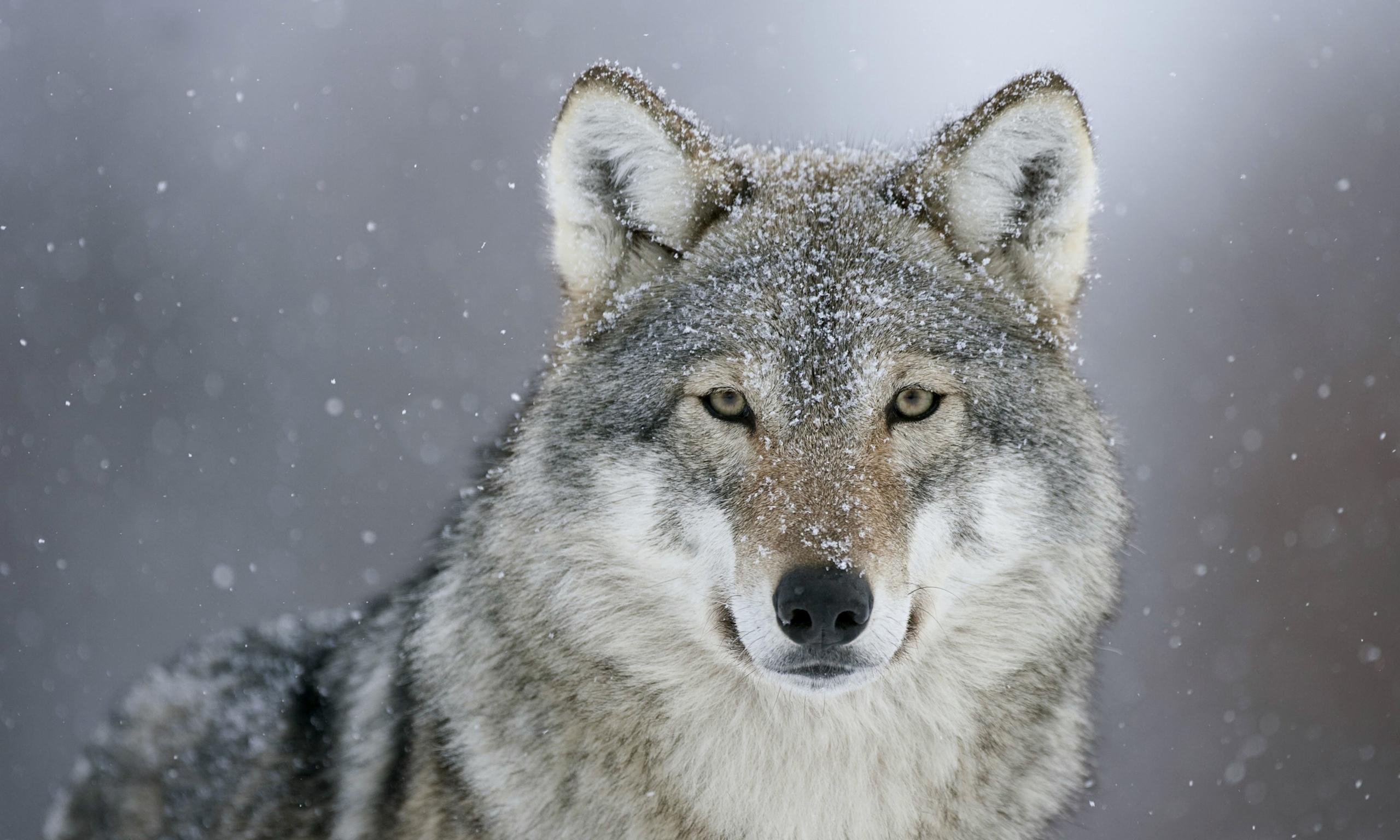 European-grey-wolf--014.jpg