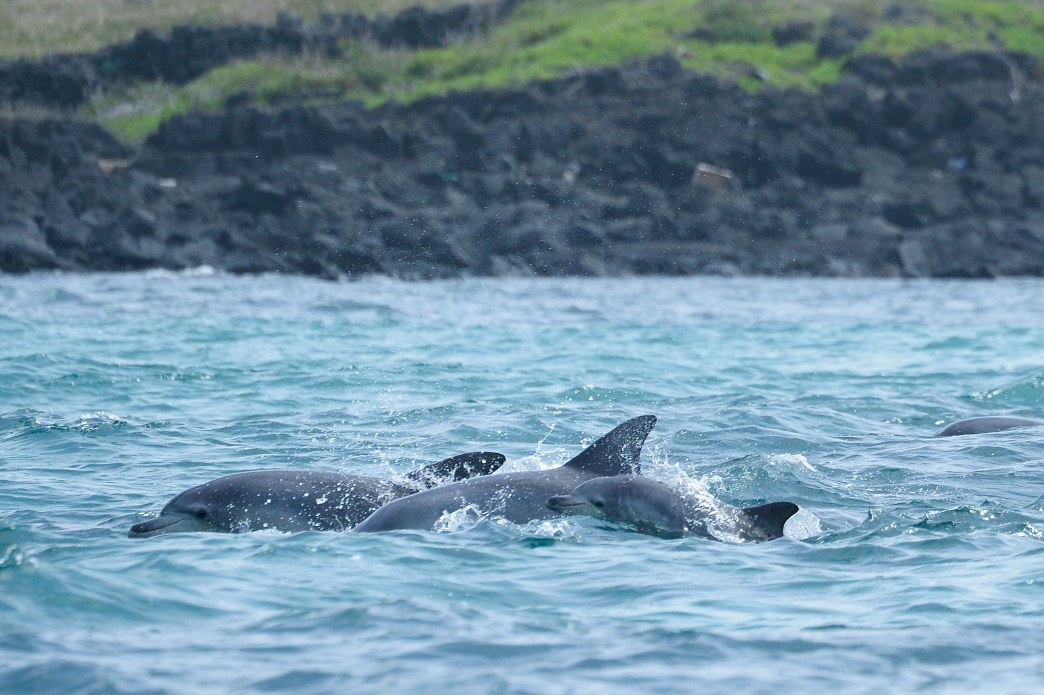 dolphin-captive-wild-calf
