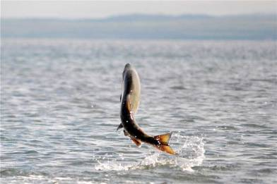CT-09-02-Jumping_Salmon_USFWS