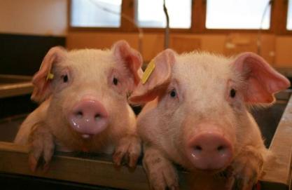 2-cute-pigs