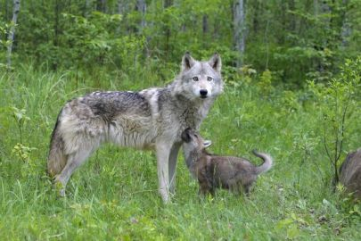 WAT-16908 Grey / Timber Wolf - with pups