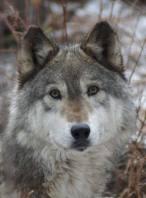 wolf-conservation-Denali